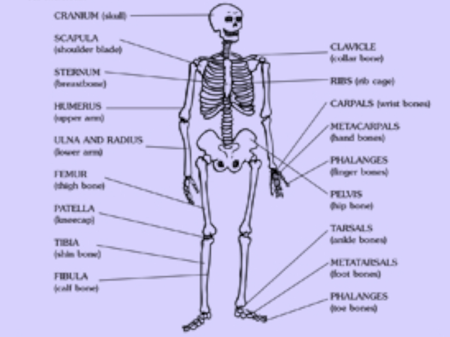 It is a picture of Lucrative Printable Human Skeleton