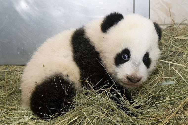 Hello baby panda a listen and read book level a - Image de panda a imprimer ...