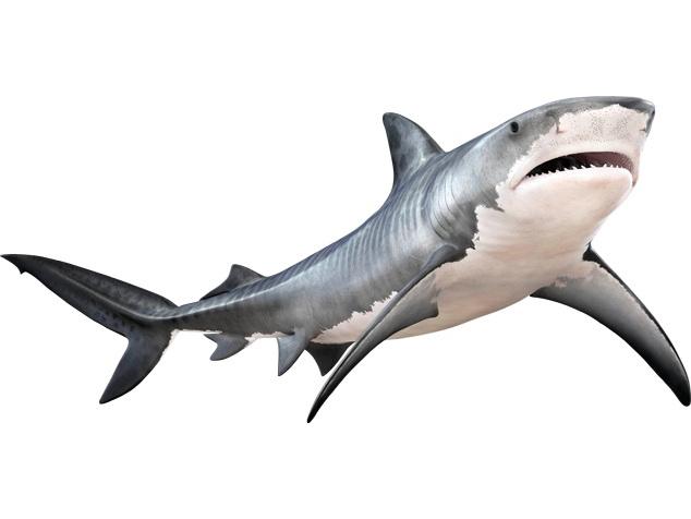 Tiger Shark Facts