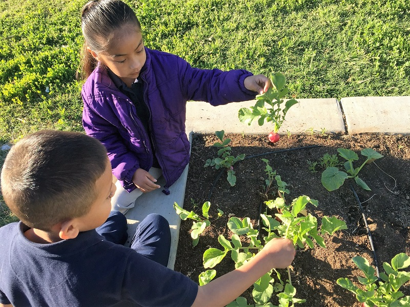 Two kids picking vegetables in the garden for Earth Day