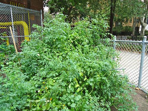 How Does Our School Garden Grow? Part 2   Scholastic