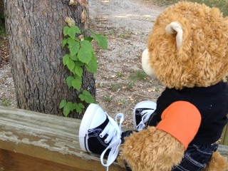 Class bear looking at poison ivy