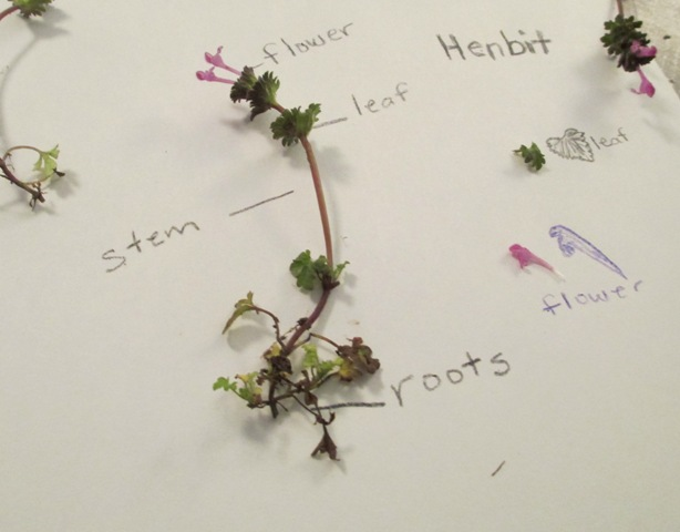 Wild plants mean even wilder learning part 2 scholastic carefully re henbit plant labeled ccuart Image collections