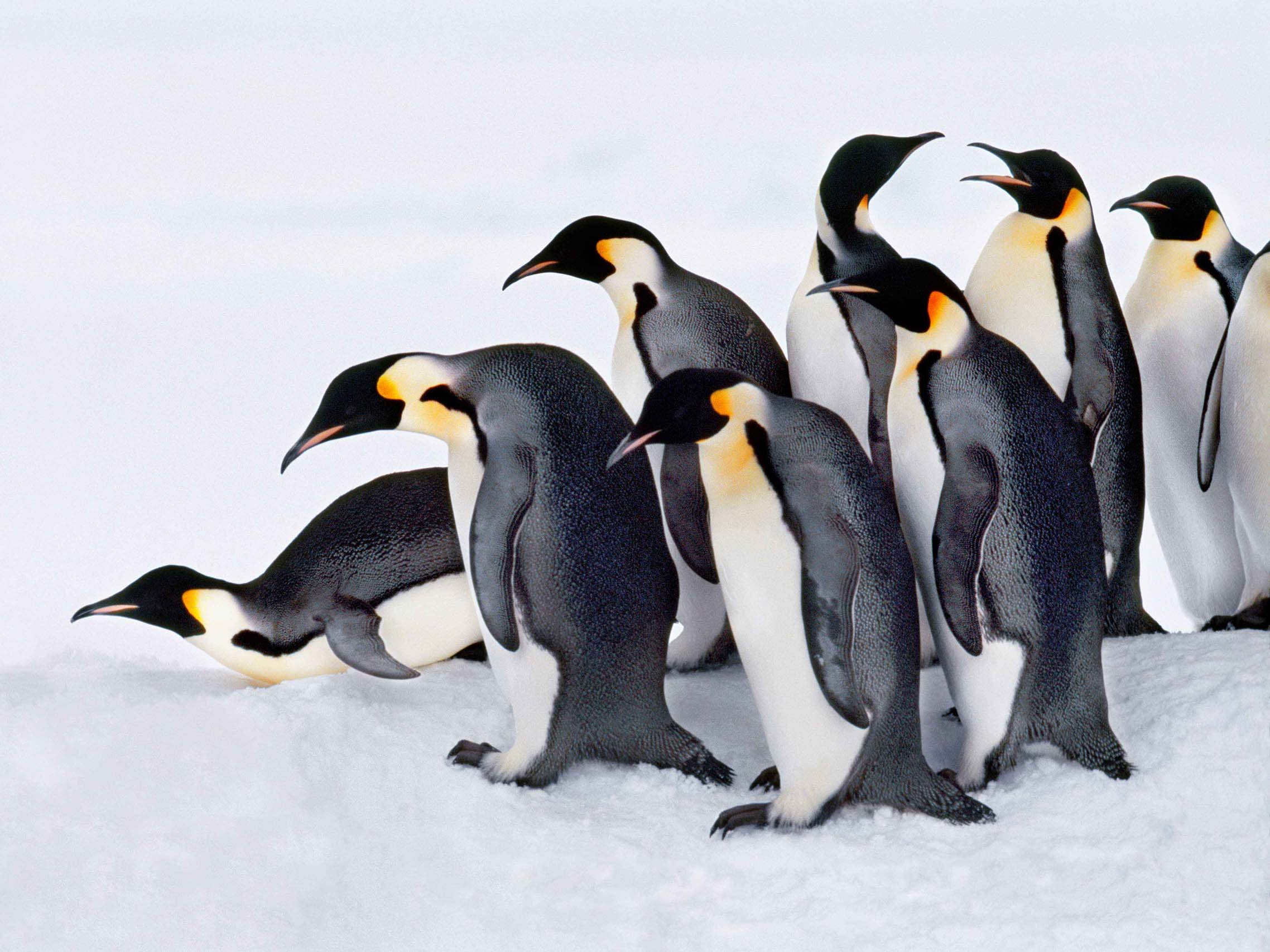meet the penguins scholastic