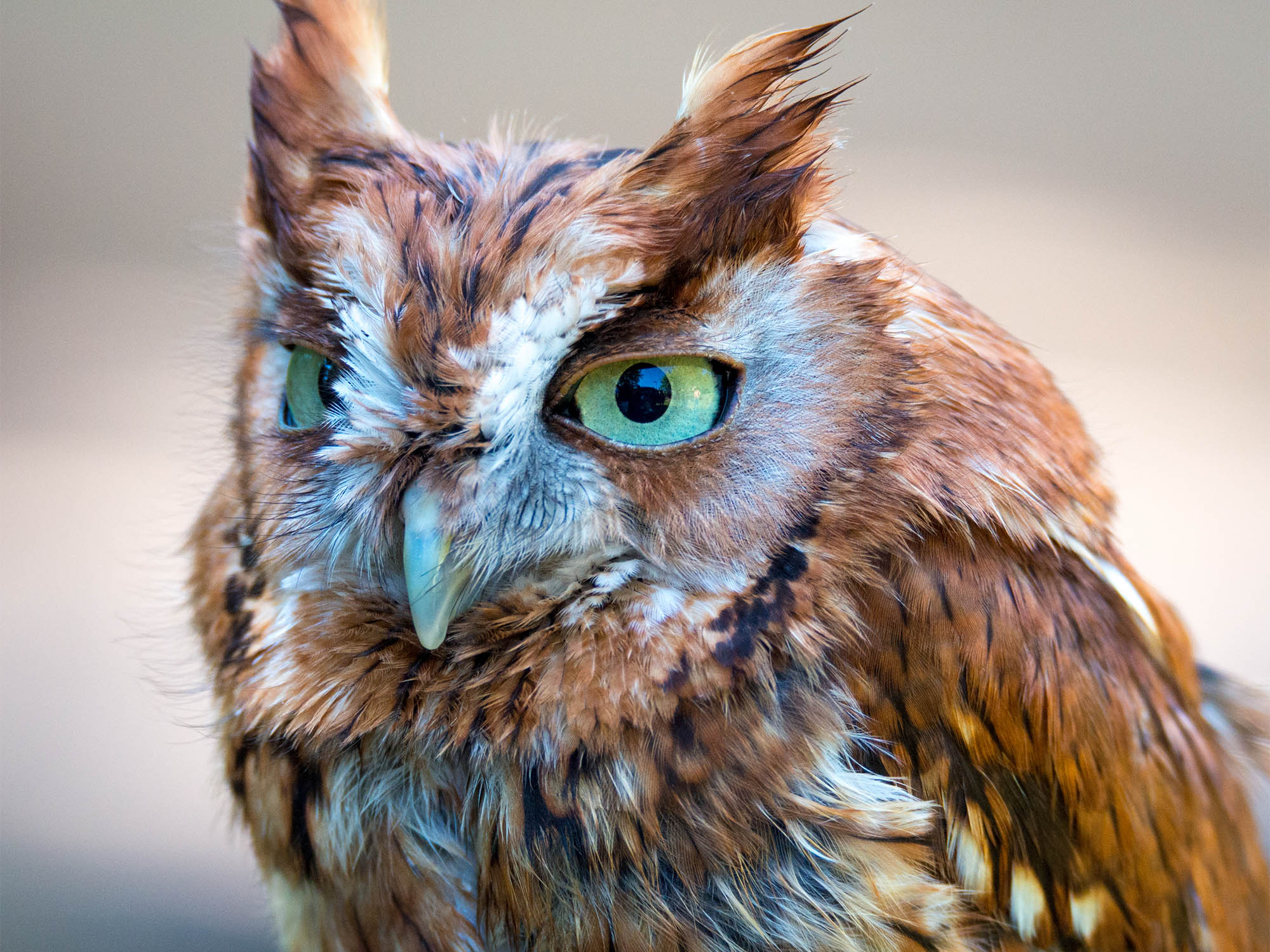 Awesome Adaptations: An Introduction to Owls and Animal ...