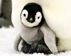 A Penguin Chick's Life | Scholastic