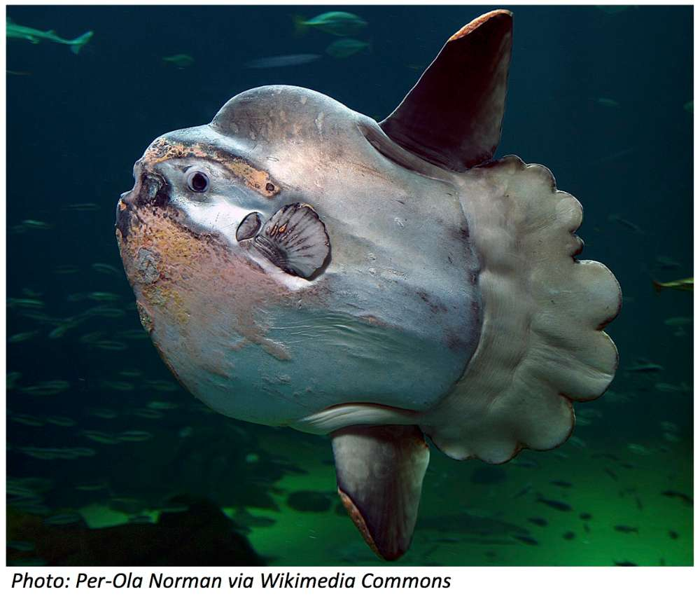 This Week From Bedtime Math: Meet the Mola Mola
