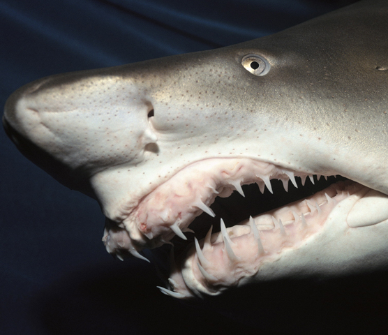 A Sand Tiger shark baring its menacing teeth.